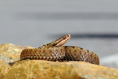 Beautiful common european viper basking on stone Royalty Free Stock Images