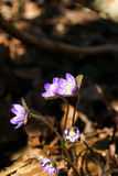 Beautiful common hepaticas on a natural background Stock Image