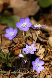 Beautiful common hepaticas on a natural background Royalty Free Stock Image
