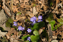 Beautiful common hepaticas on a natural background Royalty Free Stock Photo