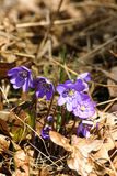 Beautiful common hepaticas on a natural background Royalty Free Stock Images