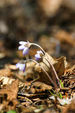 Beautiful common hepaticas on a natural background Royalty Free Stock Photography