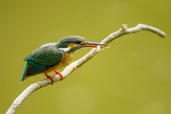 Beautiful of Common Kingfisher with shrimp in her mount in nature Stock Images
