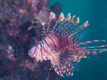 Beautiful common lionfish at one of my favourite macro sites in North Sulawesi, Paradise Jetty, near Pulisan, Indonesia. Beautiful common lionfish at one of my Stock Image