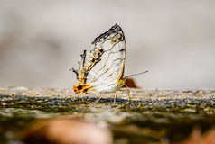 Beautiful the common map butterfly on nature background with sha Stock Images