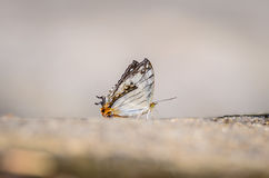 Beautiful the common map butterfly on nature background with sha Stock Image