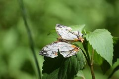 Beautiful common map cyrestis thyodamas butterfly. stock photography