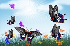 Free Beautiful Common Mormon Butterflies In Flower Field Royalty Free Stock Image - 168413566