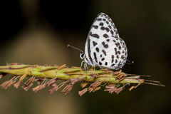 A beautiful Common pierrot  butterfly Royalty Free Stock Images