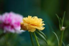 Beautiful common purslane flower in fresh garden stock photo