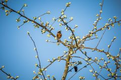 A beautiful common redstart sitting on the apple tree branch and singing. Song bird in spring. royalty free stock images