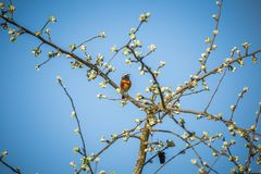 A beautiful common redstart sitting on the apple tree branch and singing. Song bird in spring. stock photo