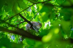 A beautiful common squirrel in a Londons park looking for food. Cute animal portrait stock photo