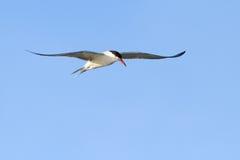 Beautiful common tern Royalty Free Stock Image