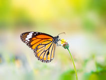 Beautiful Common Tiger butterfly on flower Royalty Free Stock Images