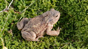 Beautiful common toad (Bufo bufo) jump and water splash Royalty Free Stock Images