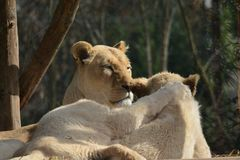 Lioness and her baby lying side by side with a paw on the back seen from behind royalty free stock image