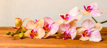 Beautiful composition of blooming twig orchid flower, phalaenops Royalty Free Stock Photos