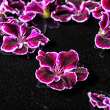 Beautiful composition of dark purple geranium flower with dew in Stock Photography