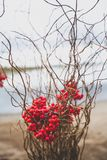 Beautiful composition with red Rowan berries and dry branches. Autumn wedding decoration stock photo