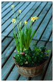 A Beautiful composition of spring flowers with Daffodils and other spring flowers growing in a basket stock images
