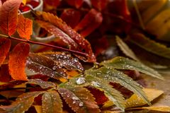 Beautiful composition of wet leaves of Rowan and fresh apples stock photo
