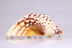 Beautiful conch shells Royalty Free Stock Images