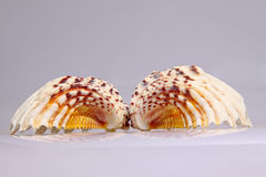 Beautiful conch shells Stock Images