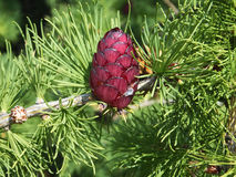 The beautiful cone on a pine branch Stock Photography