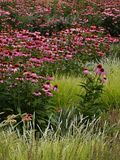 Purple coneflowers in decorative grasses. Beautiful coneflowers with purple petals and orange cones growing in decorative grasses on a summer day stock images