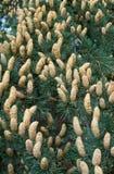 A Beautiful cones Stock Photos