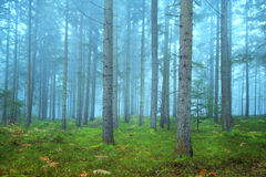 Beautiful conifer forest Royalty Free Stock Photo