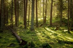 Beautiful coniferous forest in golden sunset. Mossy old old growth virgin forest royalty free stock photography
