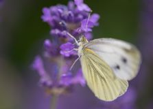 White butterfly insect alone on a purple lavender flower in color. Beautiful contrast of colors that blend well together. light is soft royalty free stock images