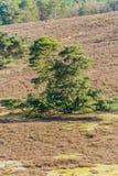Beautiful contrast of a green tree with an arid terrain. On a wonderful sunny day in Brunssummerheide in Limburg Holland stock photos