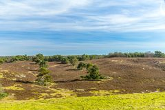 Beautiful contrast of green trees in line on a dry land. On a wonderful sunny day with a blue sky and white clouds in Brunssummerheide in South Limburg in the royalty free stock photography