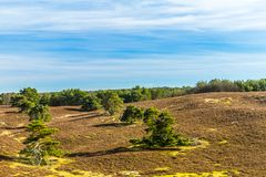 Beautiful contrast of green trees in line on a dry land. On a wonderful sunny day with a blue sky and white clouds in Brunssummerheide in South Limburg in the royalty free stock image