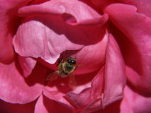 Beautiful contrast, honey bee and cerise rose Royalty Free Stock Photography
