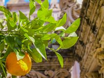 Close up of an orange tree branch with its leaves and an orange royalty free stock photos