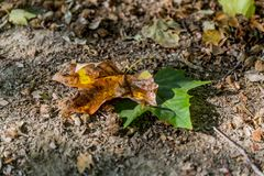 Beautiful contrast of nature two leaves on the ground in an autumn day royalty free stock photos