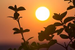 Beautiful contrast picture of clear silhouettes of tree branches with dark green leaves against big bright white sun on dramatic o. Range golden yellow sky royalty free stock photo