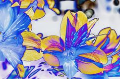Yellow blue and purple Day Lily flower petal art. Beautiful contrast of the sun through the Translucence of Day Lily flower petals in the early morning sunshine stock photo