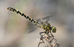 Beautiful contrasting colorful dragonfly macro Stock Photography