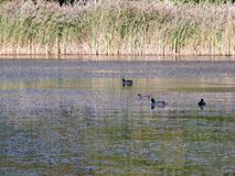 Beautiful coots and moorhens swimming on lake surface royalty free stock photo