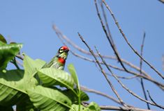 A beautiful Coppersmith Barbet bird Royalty Free Stock Photography