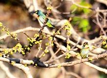 Beautiful coppersmith barbet bird Stock Photos