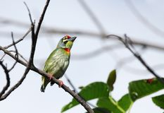 A beautiful Coppersmith Barbet bird perched on branch Stock Photography