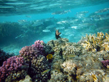 Beautiful coral with flocks of fishes. Beautiful coral reef with flocks of fishes Stock Image