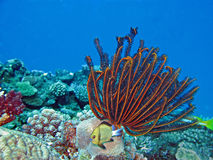 Beautiful Coral gardens. And Headband humbug (Dascyllus reticulatus Stock Photo