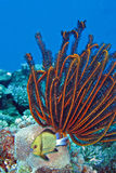Beautiful Coral gardens crinoid Feather star. Beautiful Coral gardens and Headband humbug (Dascyllus reticulatus) and crinoid Featherstar Stock Photos